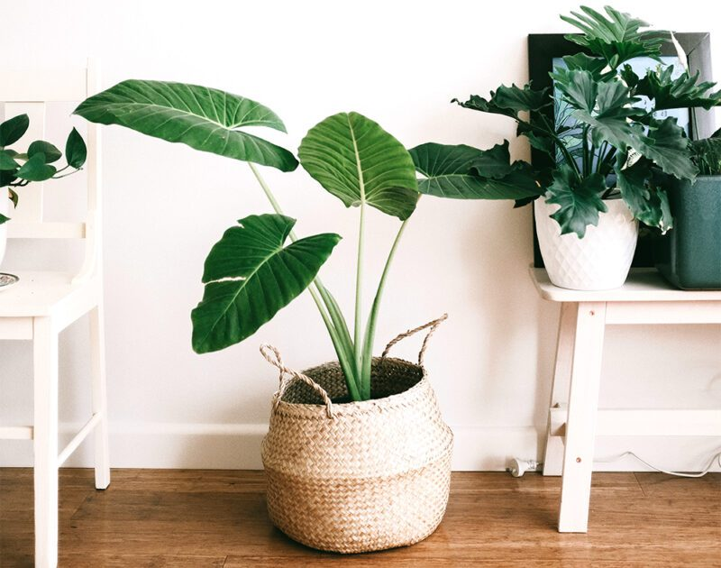 Compost is perfect for your houseplants!