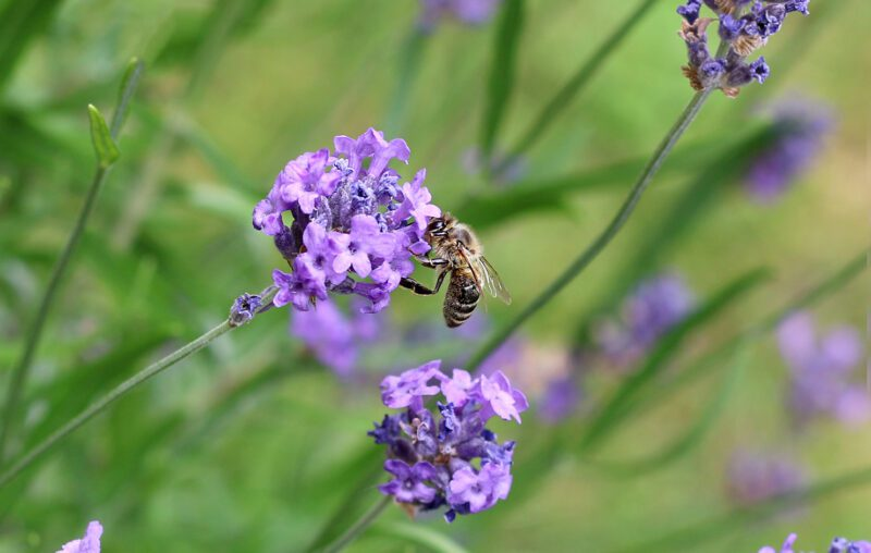Sustainable lawns and yards should be pollinator friendly