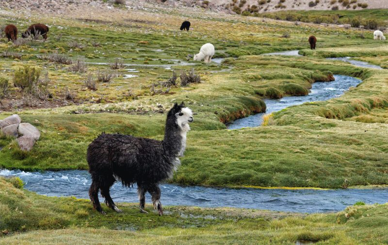 What is alpaca wool? Ethics and sustainability of alpaca fiber