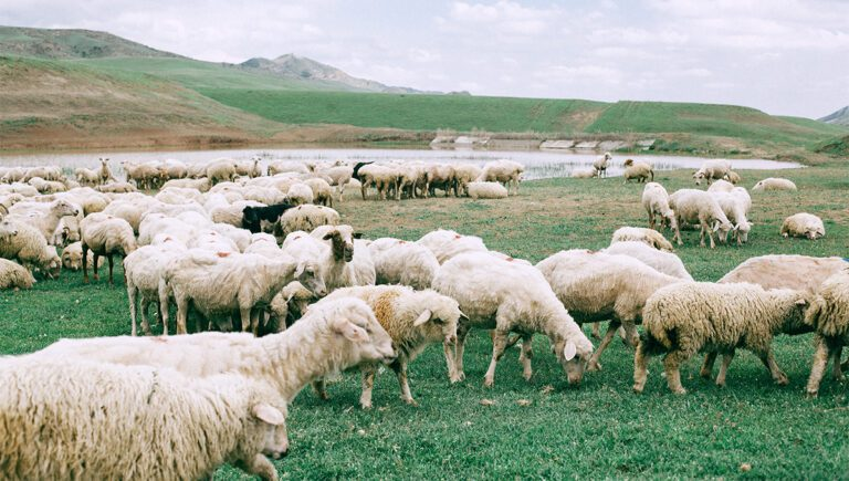 Is Wool Ethical? What to Look For with Wool, Alpaca and Cashmere